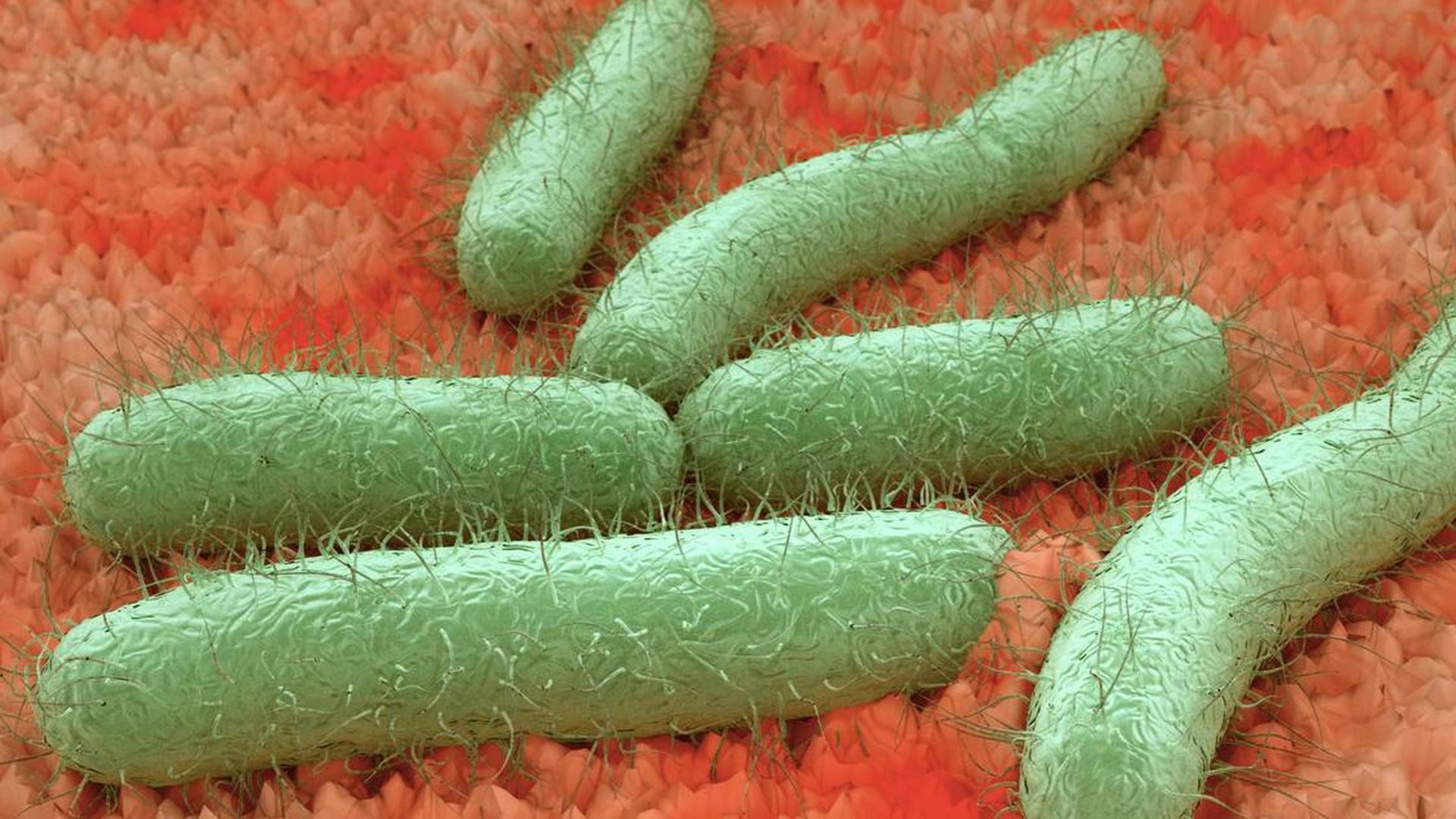 Ziekten bij roofvogels en uilen - Escherichia coli (E.coli) bacterie