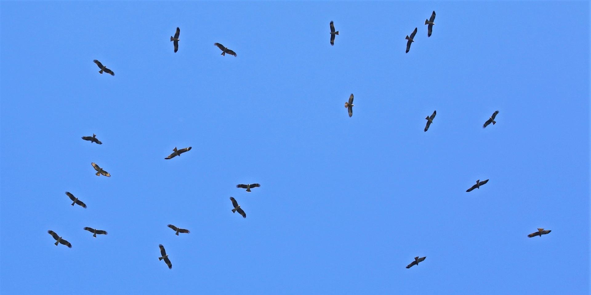 Roofvogel trek en migratie