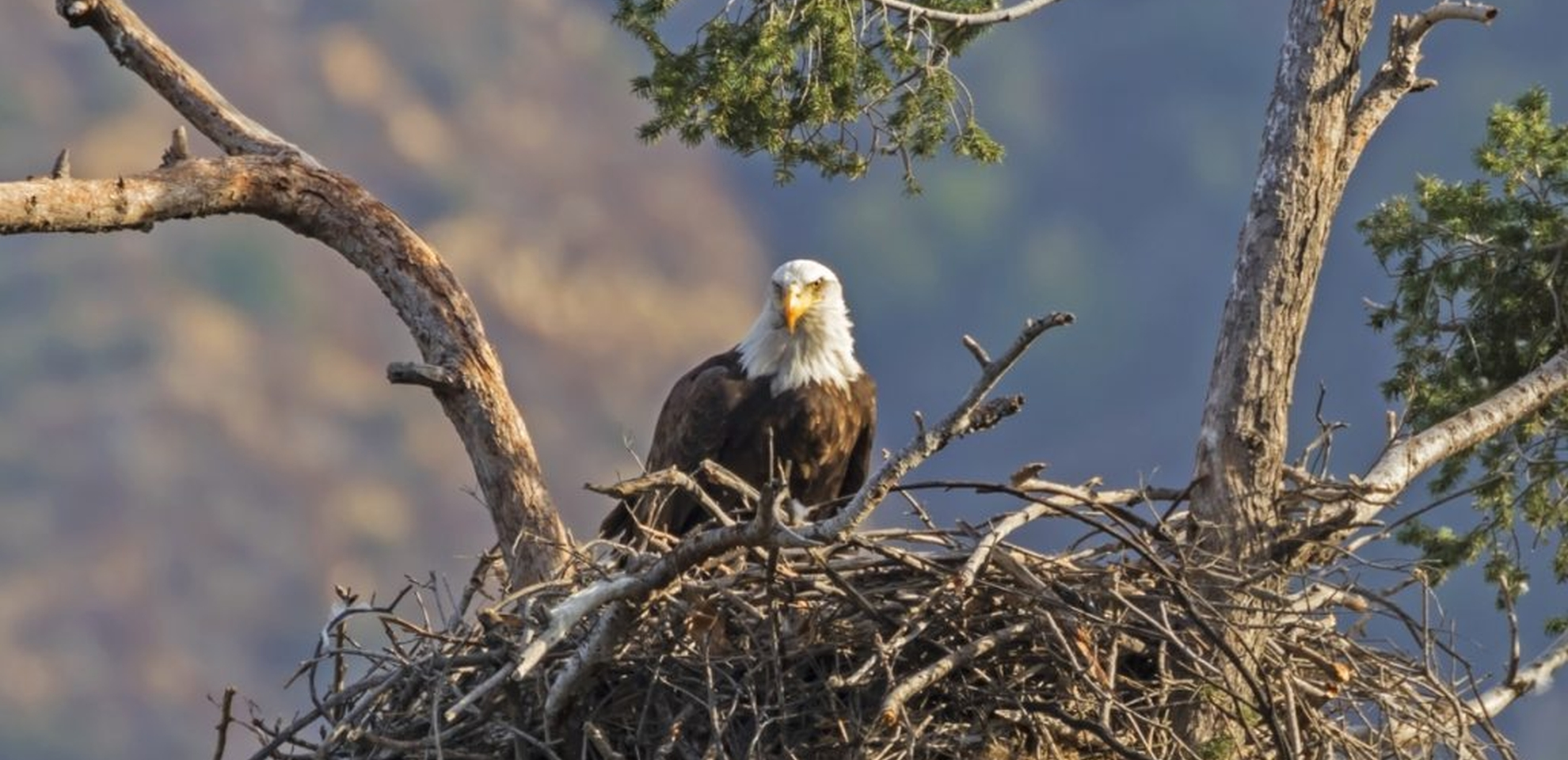 Broedcijfer bij roofvogels