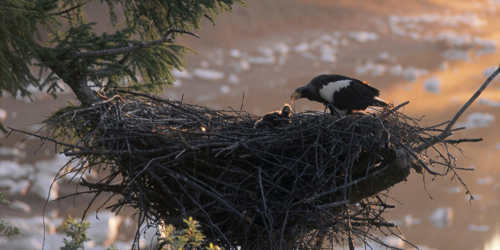 Broedseizoen bij roofvogels