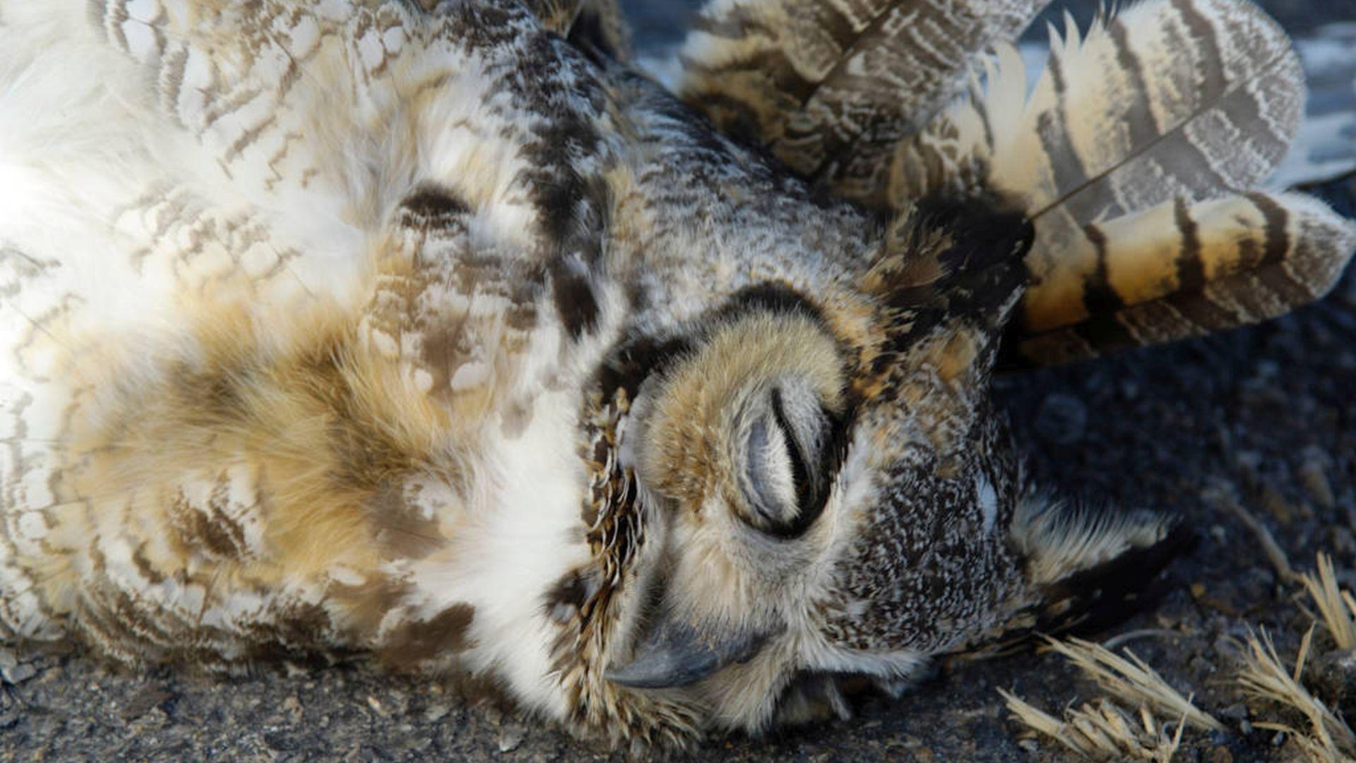 Amerikaanse Oehoe - Bubo virginianus
