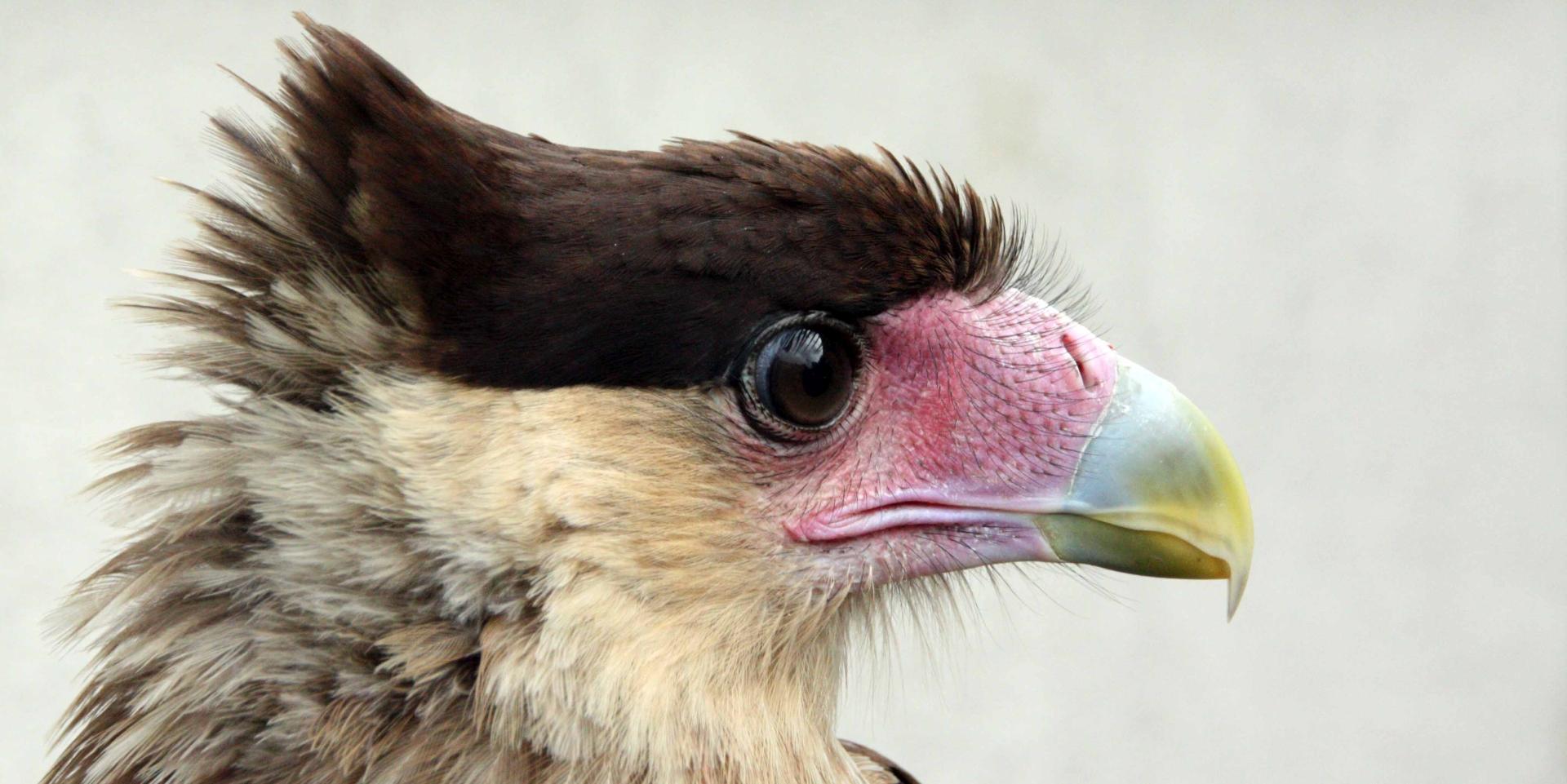 Roofvogels herkennen