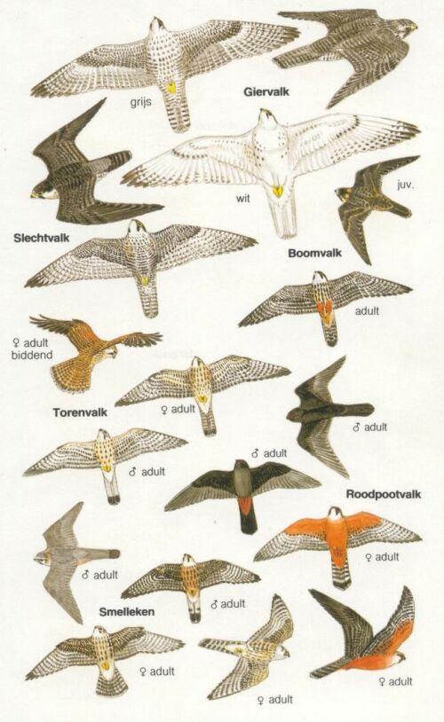 Herkenning roofvogels