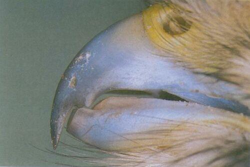 Snavel van een valkachtige roofvogel