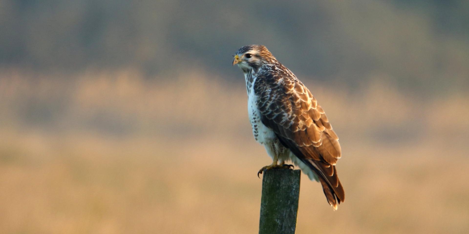 Eaglewatch roofvogels en uilen spreekbeurten