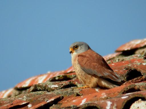 http://www.eaglewatch.nl/roofvogels/Falconae/Falconidae/Polyborininae/Kleine_torenvalk/Falco_naumanni-04.jpg