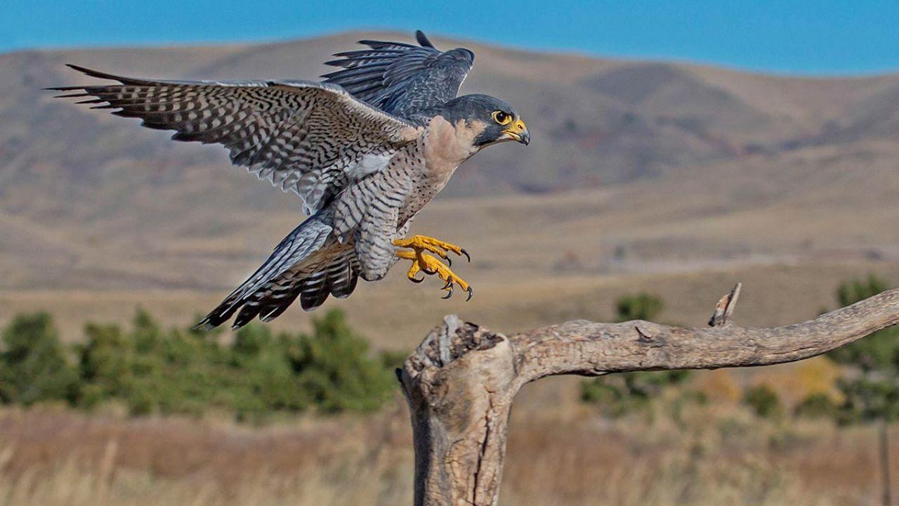 Slechtvalk - Falco_Peregrinus