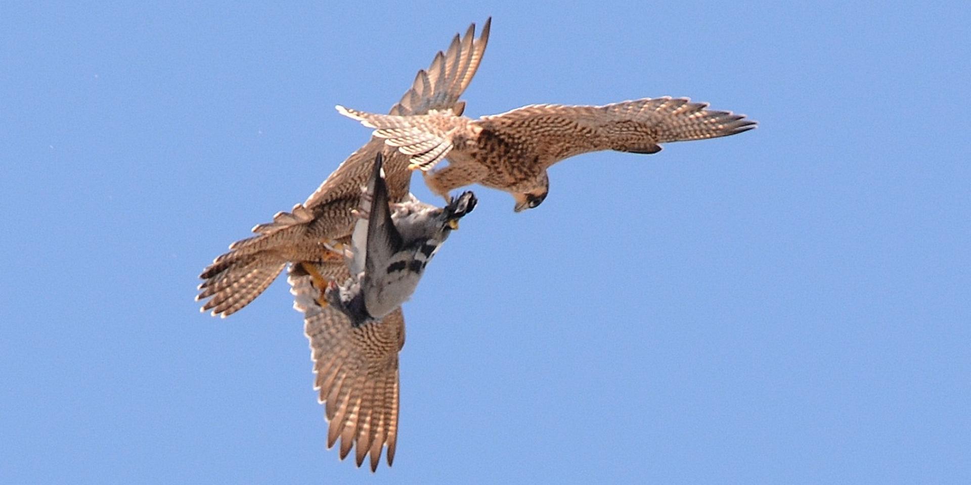 Baltsgedrag bij roofvogels